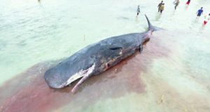 Dead Sperm Whale beached in Samal with Fishnet and Plastic Inside its Stomach
